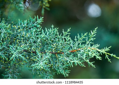 green lush branches of coniferous tree