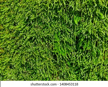 Green lush moss in forest as pattern background. Colorful bright natural moss tree texture. Dense hairy moss decorative texture. Closeup mossy shaggy reindeer wall macro detail. Moss interior design