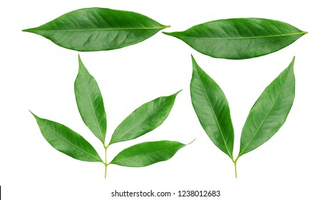 Green lychee leaf on a white background.