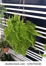green maidenhair fern