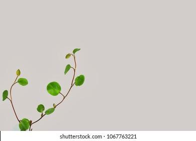 Green maidenhair vine