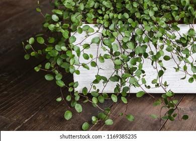 green maidenhair vine plant(Muehlenbeckia complexa) in white pot