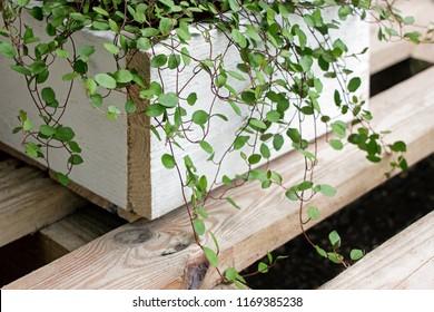 green maidenhair vine plant(Muehlenbeckia complexa) in wooden pot in garden
