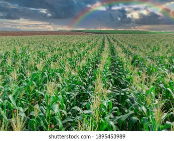 Green Maize Corn Field Plantation In Summer Agricultural Season. Flight Above Green Corn Field During rainbow .