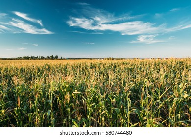 Green Maize Corn Field Plantation In Summer Agricultural Season. Skyline Horizon, Blue Sky Background.