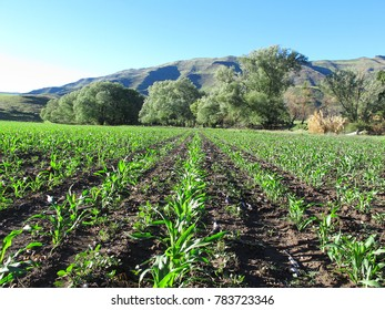 Green maize field with mountains on background, South African agriculture