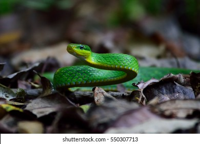 Green Mamba snake on ground in the jungle