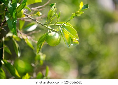 Green mandarins on a tree, greece mandarins