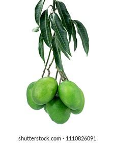 Green Mango Fruit Growing On Tree closeup on white background