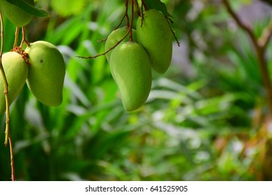 Green mango hanging down from tree.