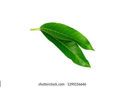 Green Mango leaf isolated on white background.