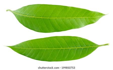 Mango Leaves Images Stock Photos Vectors Shutterstock