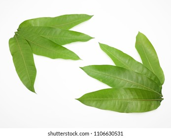 Green mango leaf isolated with white background, Clipping path