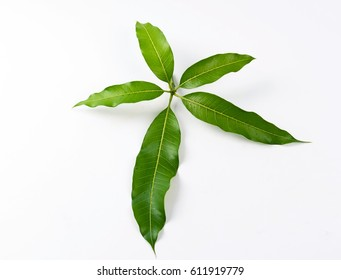 Green mango leaves isolated on white background.