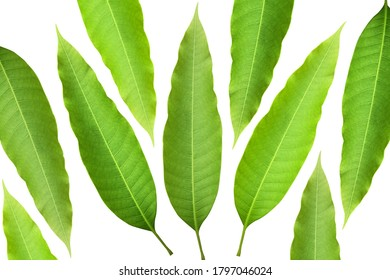 Green mango leaves with white background, used for decoration or illustration. - Shutterstock ID 1797046024