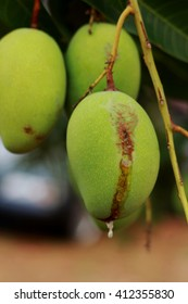 Green mango with rubber on tree in garden. Selective focus
