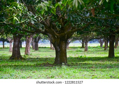 Green mango trees in an agricultural field unique photo