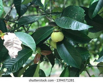 Green mangosteen. Mangosteen not ripe. Mangosteen tree.