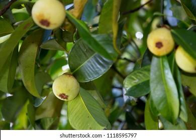 green mangosteen thai fruit on tree