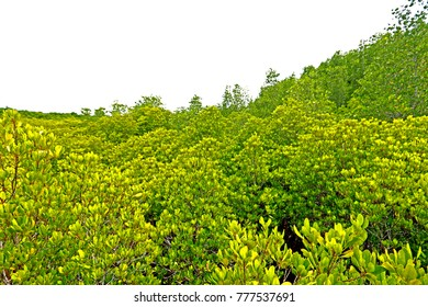 Green Mangroves Field