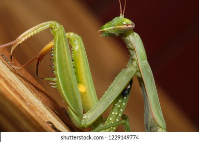 the green mantis