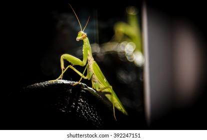 Green mantis at black background