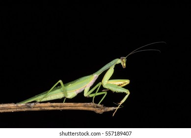 Green mantis isolated with black background