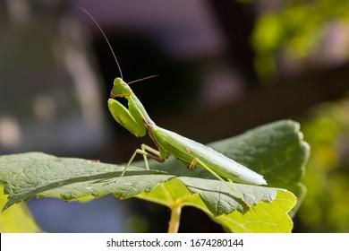 Green mantis on a leaf