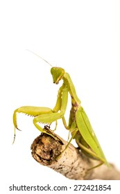 Green  Mantis on white background.
