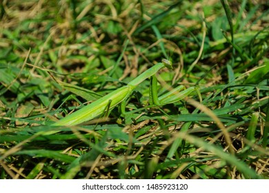 Green Mantis. The green mantis sits on green grass in the garden. Green mantis close up. Perfect disguise. Camouflage.