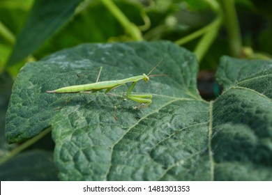 Green Mantis. Mantis sits on a leaf of cucumber in the greenhouse. Green mantis close up.
