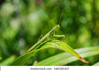 Green Mantis. The green mantis sits on the green leaves of a flower in the garden. Green mantis close up.