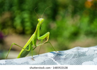 Green Mantis. The green mantis sits on a white fabric in the garden. Green mantis close up.