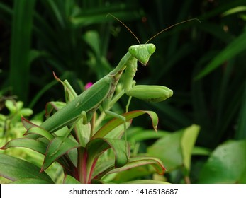 green mantis, standing on a leaf, like a self-colored color.