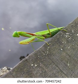 A green mantis standing on the wooden bridge.