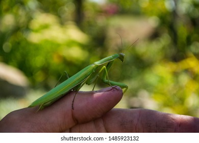 Green Mantis. Young green Mantis sits on the finger of a farmer. Green mantis close up. Soft focus.