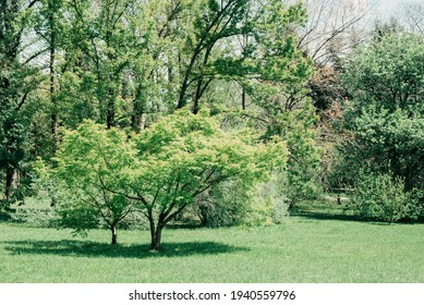 green maple japanese or Acer japonicum, Amur maple, downy Japanese-maple, fullmoon maple in park, horizpntal outdoors summer lifestyle stock photo image photography background
