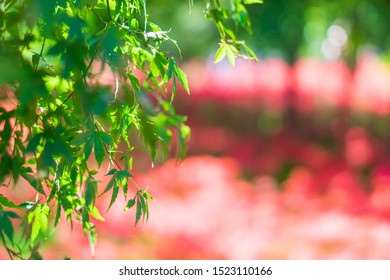 Green maple leaf in the red amaryllis garden.
