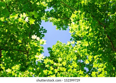 Green maple leaves and  blue sky background at summer time