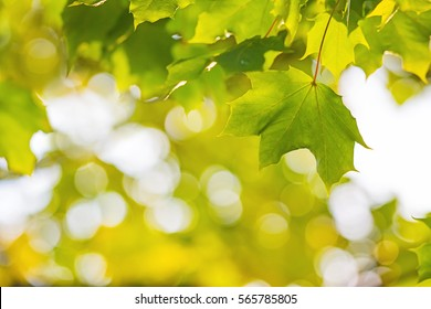 Green Maple leaves with bokeh background. Modern flat design for card or website.