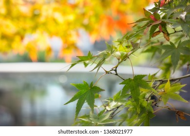 Green maple leaves on a blurred background of water lake and autumn foliage at Koko-en Garden in Himeji, Japan.