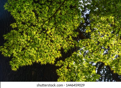 Green maple leaves on the tree at sunny day.