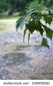 green maple leaves with rain drops on them