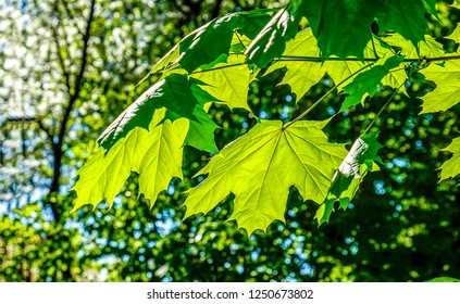 Green maple leaves sunlight background. Maple leaves green. Green maple leaves close up. Green maple leaves view