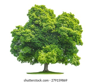 Green maple tree isolated on white background. Nature object