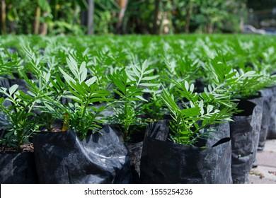 green Marigold (Tagetes erecta L.) or Big marigold seedlings are in nursery plots.
