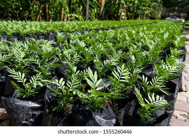 green Marigold (Tagetes erecta L.) or African marigold, American marigold, Aztec marigold, Bigmarigold seedlings are in nursery plots.