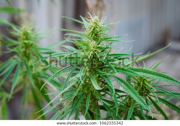Green marijuana, hemp leaves. Cannabis high quality. Thematic photo to treat patients and drugs against pain