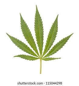 Green Marijuana Leaf. Isolated on white background