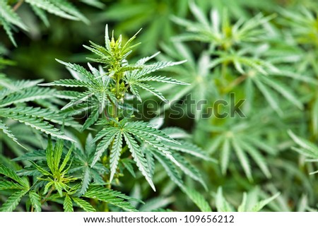 green marijuana leaves close up